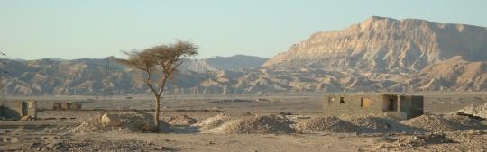 Pohon berduri tajam yang tumbuh di daerah gurun.
